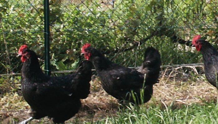 Deuxième édition pour l'opération « Poules noires du Berry » !